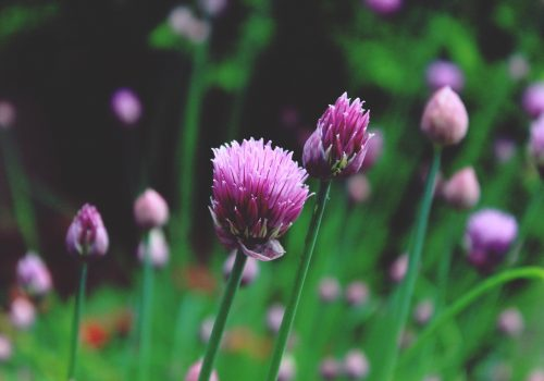 chives-1407364_1920
