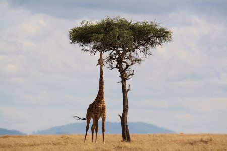 giraffe-